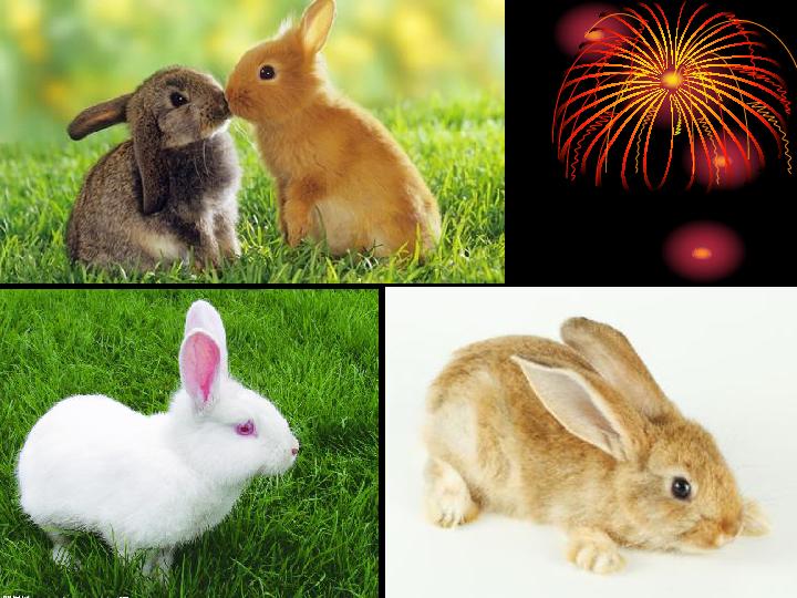 课件1:15张PPT认真观察兔:兔也是一种常见的家养小动物.兔的身体