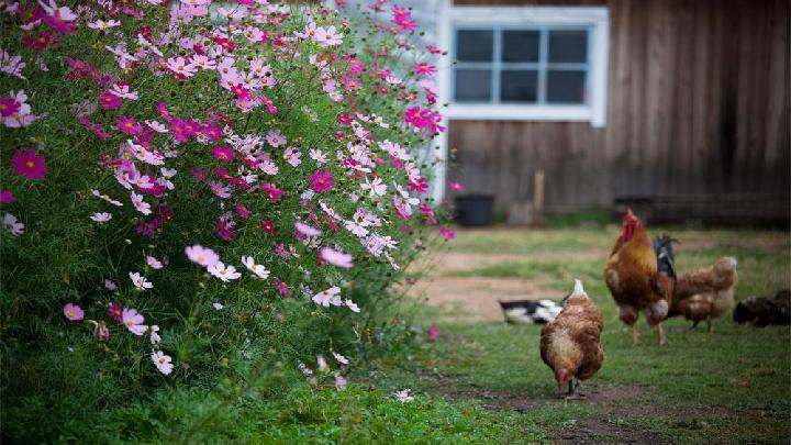 16 母鸡 课件 29张PPT
