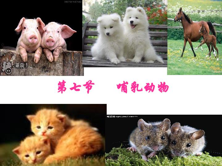 章第七节 哺乳动物课件 共31张PPT