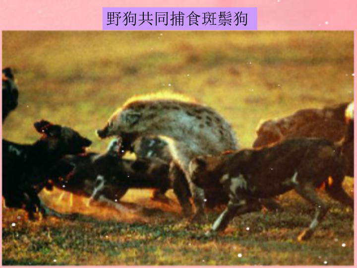 上册4.2.2动物行为的类型课件冀教版 21张PPT