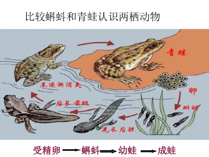 名称及特征吗?蝌蚪(是青蛙的幼体):有尾,用鳃呼吸