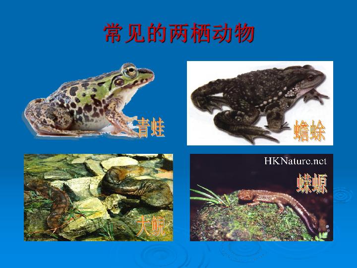 二章第二节两栖动物的生殖与发育 共35张PPT