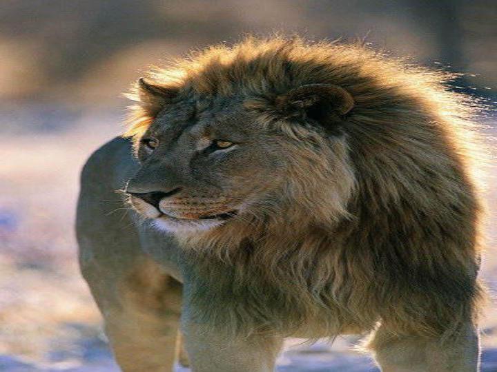北师大版语文第三册 小狮子 PPT课件